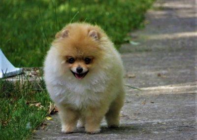 Pomeranian    Pomeranian Pomeranian