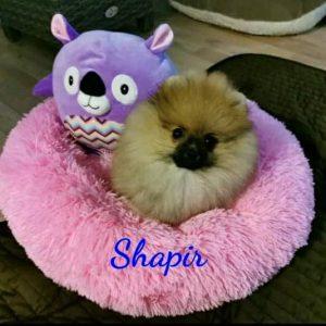Shapir Shapir   Shapir Shapir