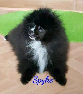 Spyke Spyke   Spyke Spyke